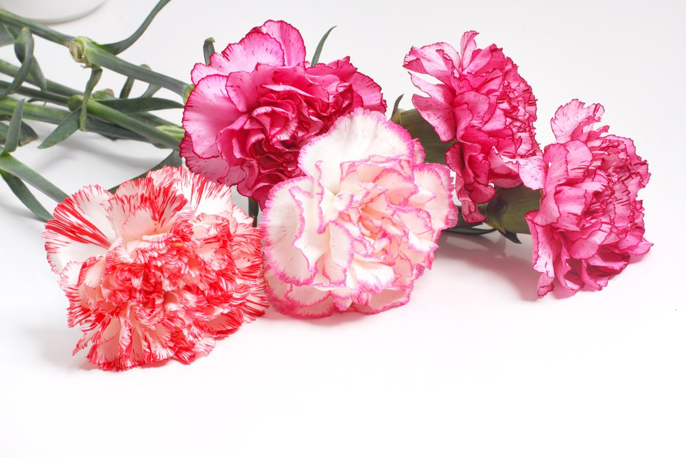 carnation flowers- Top 8 Carnation Flowers that everybody will Love in 2021